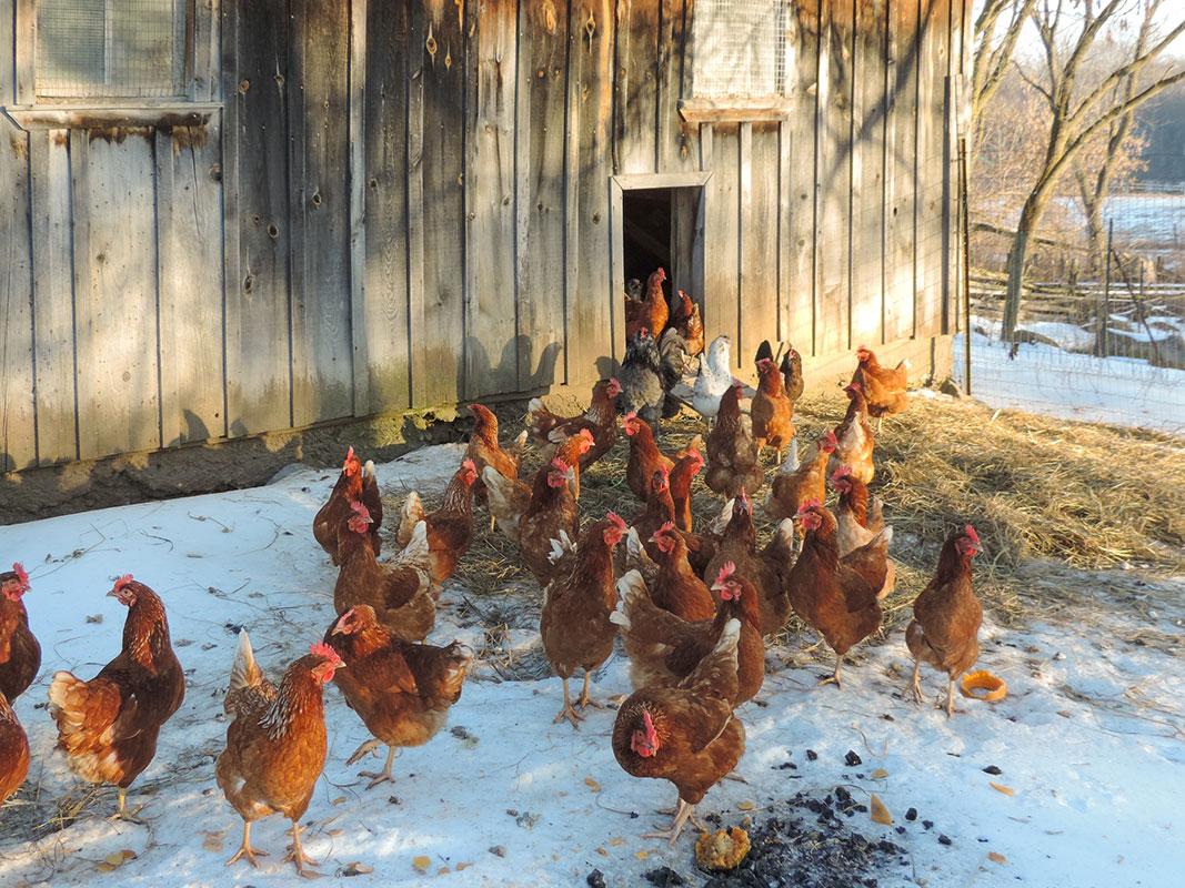 Art Farm Chickens